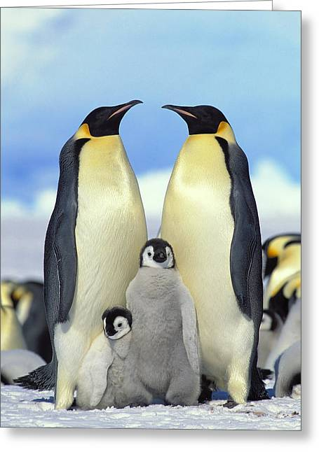 Groups Of Animals Greeting Cards - Emperor Penguin Aptenodytes Forsteri Greeting Card by Konrad Wothe