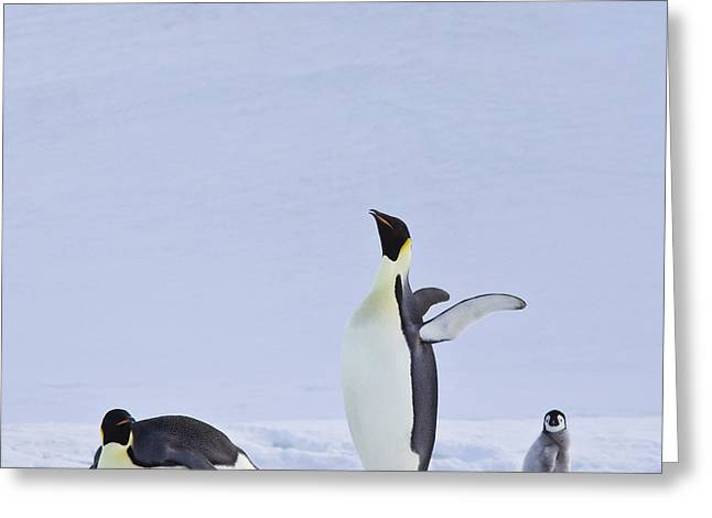 Laying On Stomach Greeting Cards - Emperor Penguins And Their Chick Greeting Card by Jean-Louis Klein & Marie-Luce Hubert