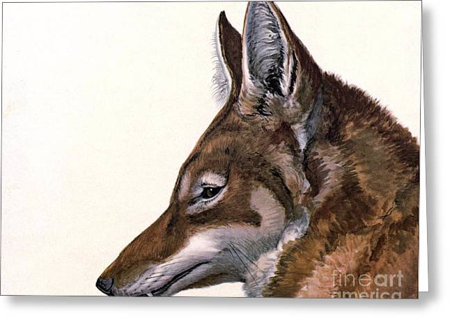 Ethiopian Greeting Cards - Ethiopian Wolf, Endangered Species Greeting Card by Biodiversity Heritage Library