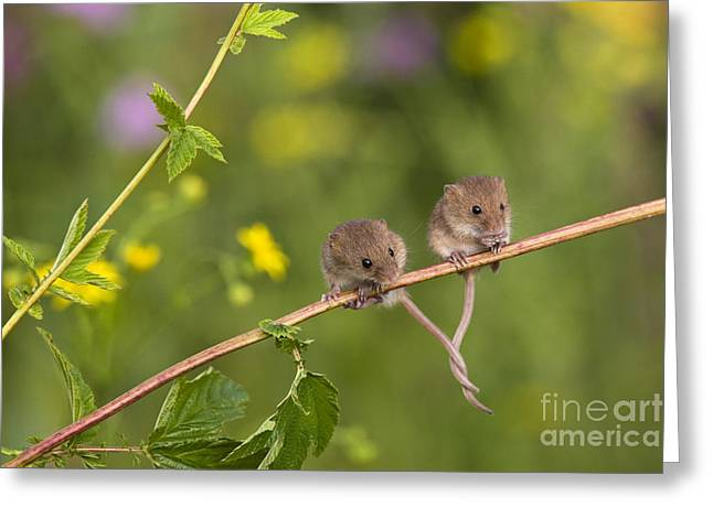 Wrapped Around Greeting Cards - Eurasian Harvest Mice Greeting Card by Jean-Louis Klein & Marie-Luce Hubert
