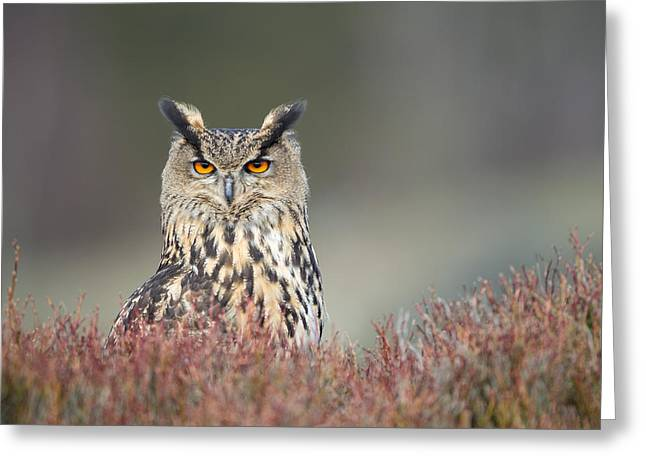 European Eagle Owl Greeting Card by Nigel Spencer