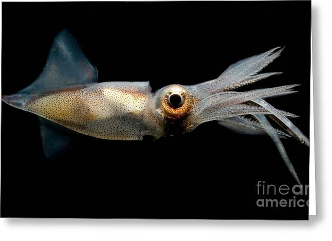 Invertebrates Greeting Cards - Eye Flash Squid Greeting Card by Danté Fenolio
