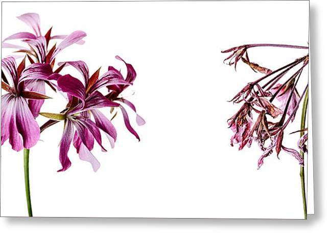 Geranium Greeting Cards - Fading Beauty Greeting Card by Nailia Schwarz