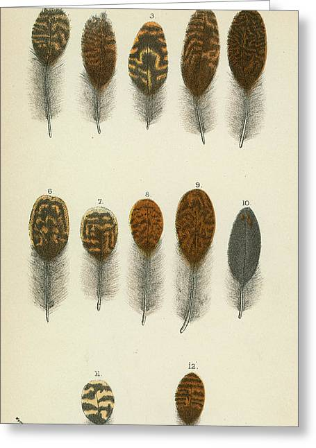 Feathers Of Scotch Grouse Greeting Card by English School