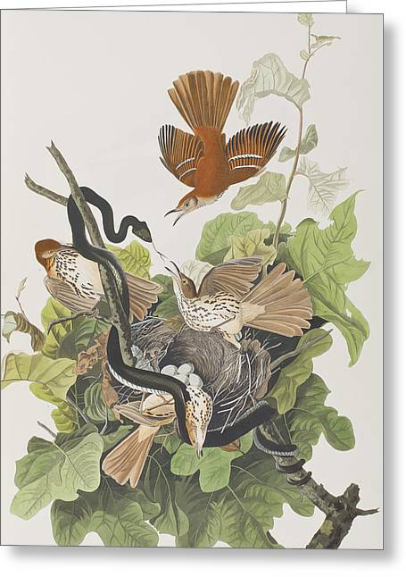 Ferruginous Thrush Greeting Card by John James Audubon