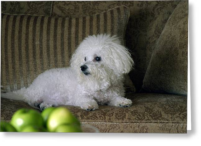 Fifi the Bichon Frise  Greeting Card by Michael Ledray