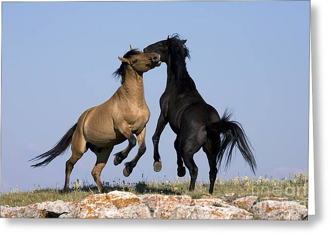 Male Dominated Greeting Cards - Fighting Stallions Greeting Card by Jean-Louis Klein & Marie-Luce Hubert