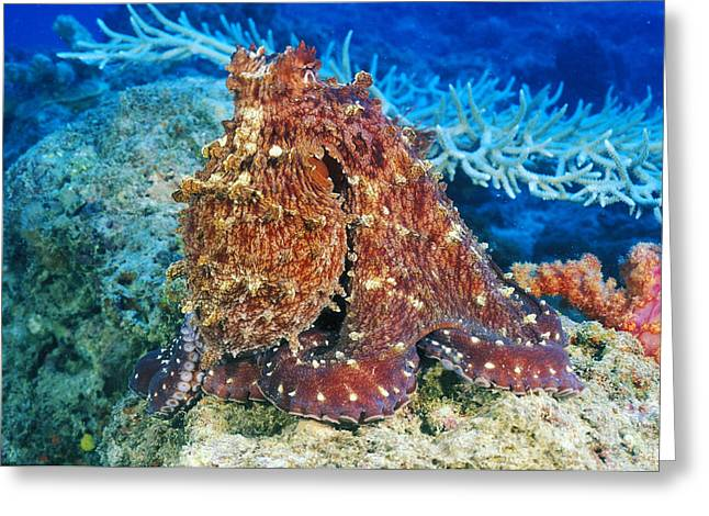 Fiji, Day Octopus Greeting Card by Dave Fleetham - Printscapes