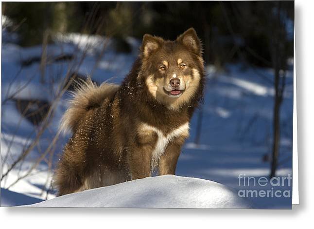 Dog In Snow Greeting Cards - Finnish Lapphund Greeting Card by Jean-Louis Klein & Marie-Luce Hubert