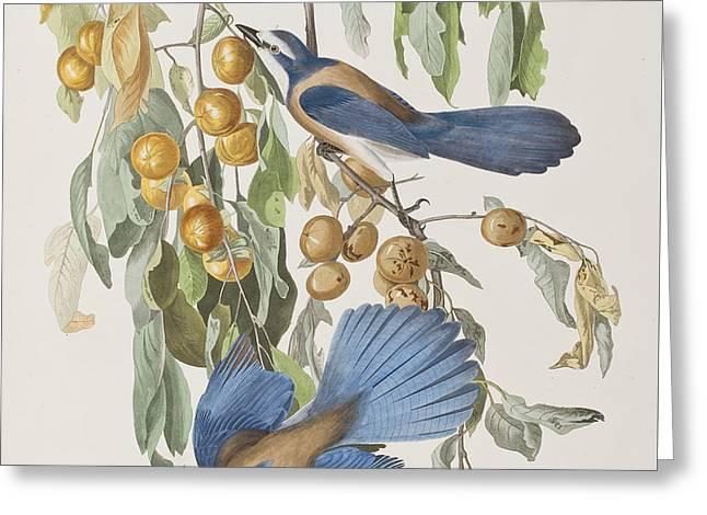 Jays Greeting Cards - Florida Jay Greeting Card by John James Audubon