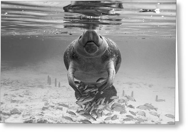 Aquatic Greeting Cards - Florida Manatee Greeting Card by Keith Ramos