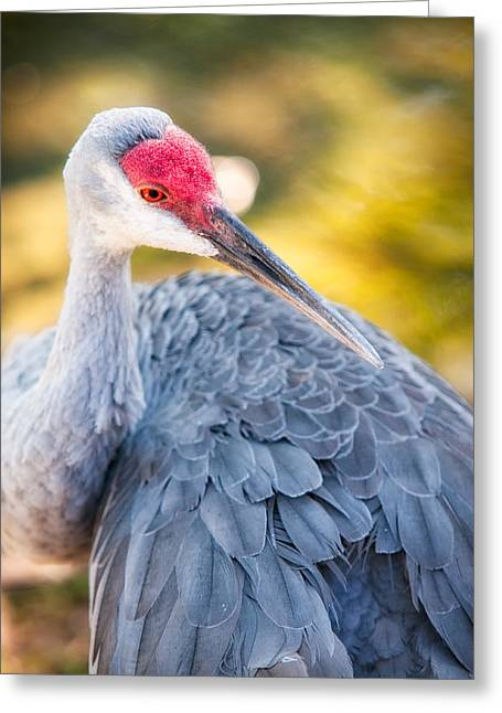 Animalia Greeting Cards - Florida Sandhill Crane Greeting Card by Rich Leighton