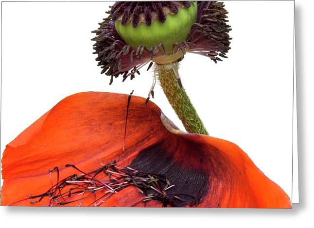 Flower poppy in studio Greeting Card by BERNARD JAUBERT
