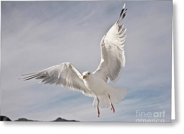 Zoologic Greeting Cards - Flying European Herring Gull Greeting Card by Heiko Koehrer-Wagner