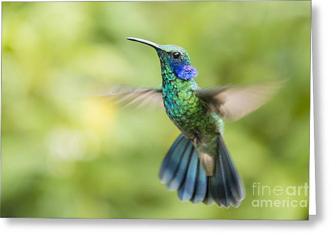 Flying Animal Greeting Cards - Flying Green violetear hummingbird Greeting Card by Oscar Gutierrez