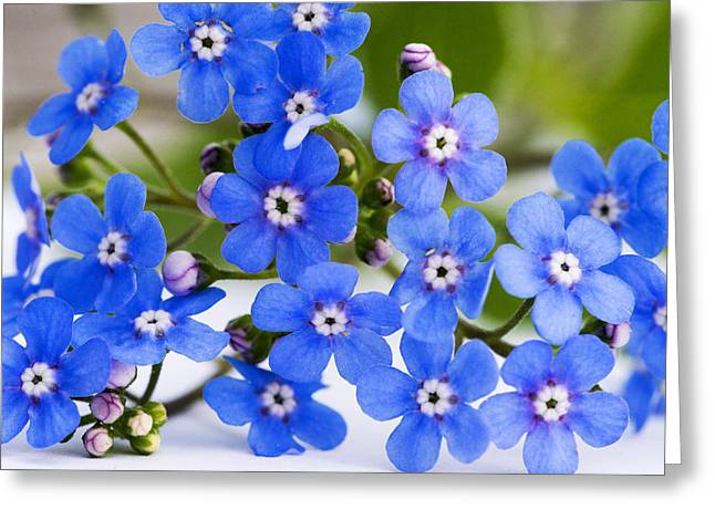 """""""forget Me Not Flowers"""" Greeting Cards - Forget-me-not Greeting Card by Chevy Fleet"""