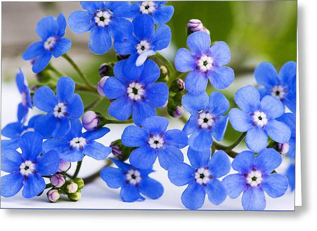 """forget Me Not Flowers"" Greeting Cards - Forget-me-not Greeting Card by Chevy Fleet"