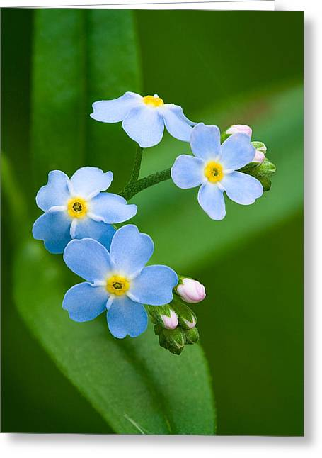 """forget Me Not Flowers"" Greeting Cards - Forget-Me-Not Greeting Card by Yuri Peress"