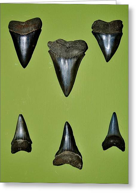 Mako Shark Greeting Cards - Fossil Mako shark teeth Greeting Card by Werner Lehmann