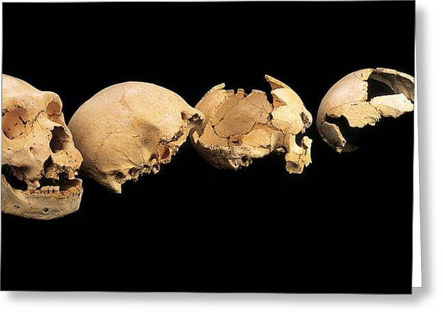 Human Skull Greeting Cards - Fossilised Skulls, Sima De Los Huesos Greeting Card by Javier Truebamsf