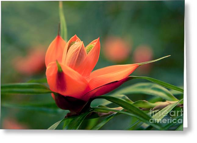 Multiflora Greeting Cards - Freycinetia multiflora - Climbing Pandanus Greeting Card by Sharon Mau