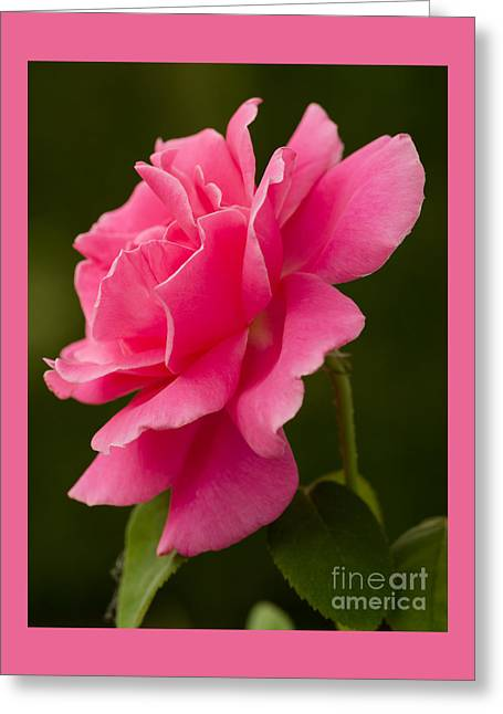 Bloosom Photographs Greeting Cards - Fridays Rose Greeting Card by Nick  Boren