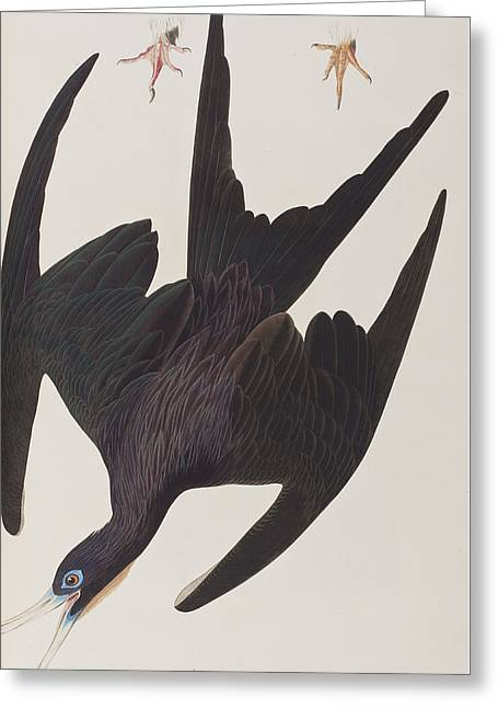 Fine Art In America Greeting Cards - Frigate Pelican Greeting Card by John James Audubon