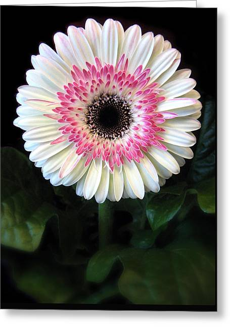 Flower Center Greeting Cards - Gerbera Greeting Card by Jessica Jenney