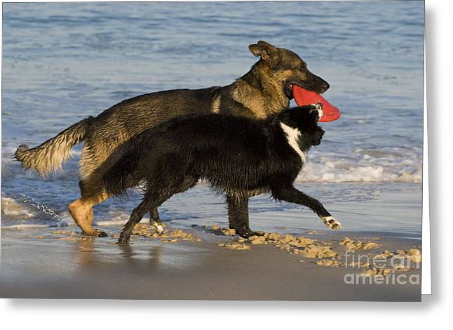 Dog At Play Greeting Cards - German Shepherd And Border Collie Greeting Card by Jean-Louis Klein & Marie-Luce Hubert