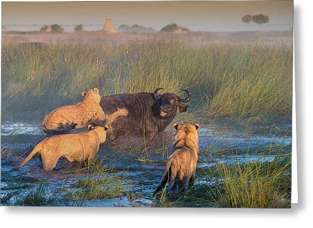 Lions Greeting Cards - Get Off My Back Greeting Card by Giulio Zanni