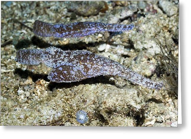 Reef Fish Greeting Cards - Ghost Pipefish Greeting Card by Georgette Douwma