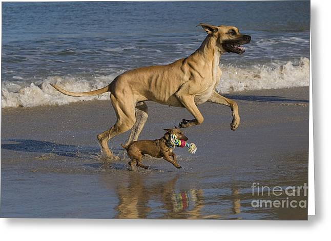 Dog Play Beach Greeting Cards - Giant And Tiny Dogs Greeting Card by Jean-Louis Klein & Marie-Luce Hubert