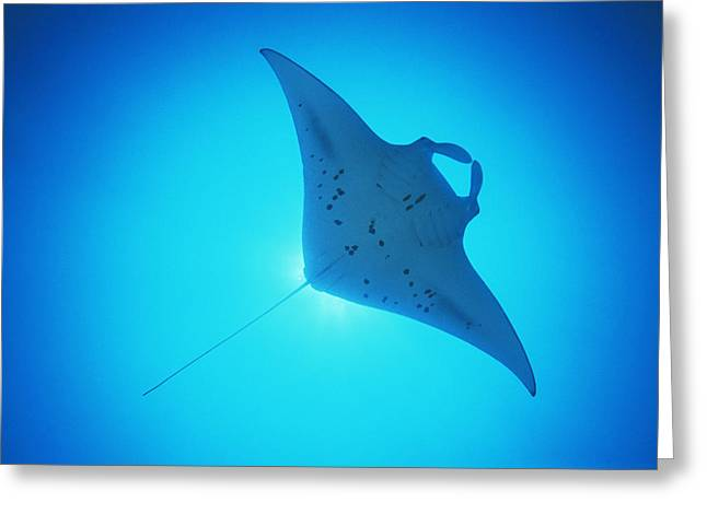 Giant Manta Ray Greeting Card by Matthew Oldfield