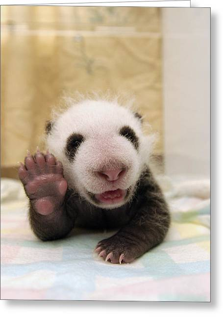 Gestures Greeting Cards - Giant Panda Ailuropoda Melanoleuca Cub Greeting Card by Katherine Feng
