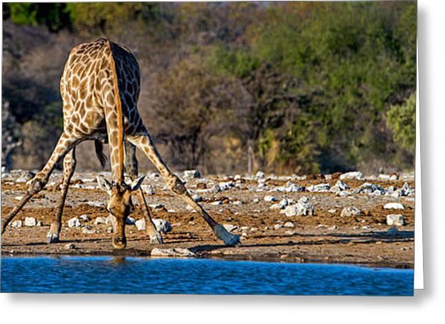Giraffe Giraffa Camelopardalis Drinking Greeting Card by Panoramic Images
