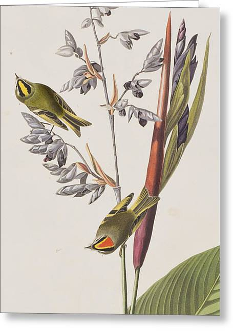 Golden-crested Wren Greeting Card by John James Audubon