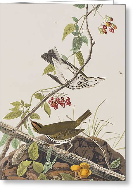 Thrush Greeting Cards - Golden Crowned Thrush Greeting Card by John James Audubon