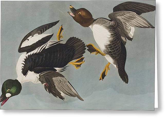 Duck Greeting Cards - Golden-eye Duck  Greeting Card by John James Audubon