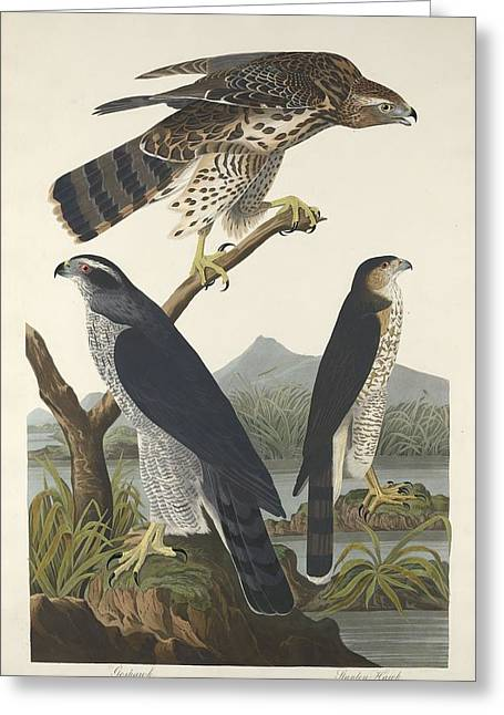 Flying Bird Drawings Greeting Cards - Goshawk and Stanley Hawk Greeting Card by John James Audubon
