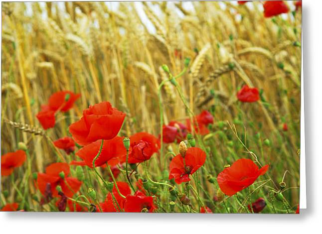 Grain and poppy field Greeting Card by Elena Elisseeva