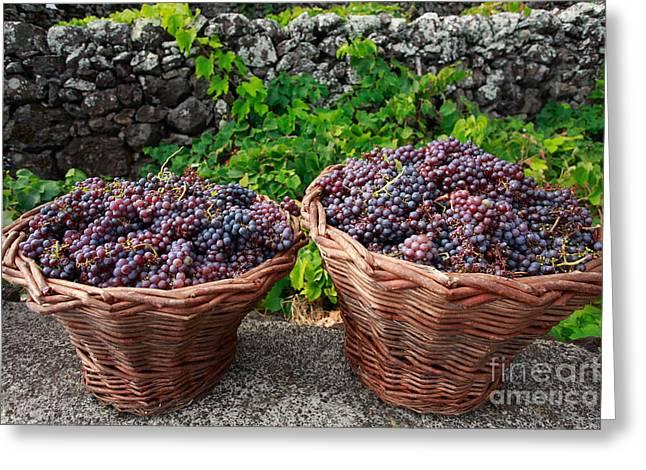 Grapevine Greeting Cards - Grape harvest Greeting Card by Gaspar Avila