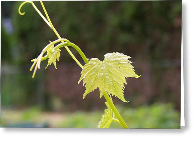 Grapevine Greeting Card by Heather L Giltner