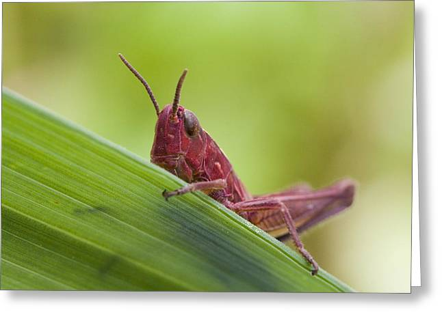 Locust Greeting Cards - Grasshopper Greeting Card by Andre Goncalves