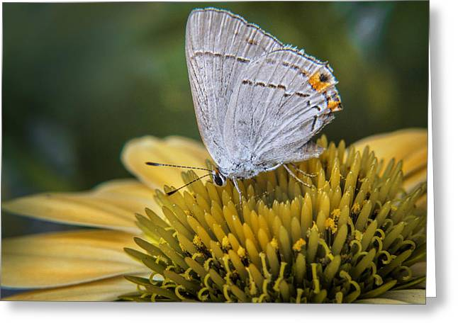 Nature Greeting Cards - Gray Hairstreak Butterfly Greeting Card by David and Carol Kelly