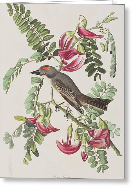 Birds Drawings Greeting Cards - Gray Tyrant Greeting Card by John James Audubon