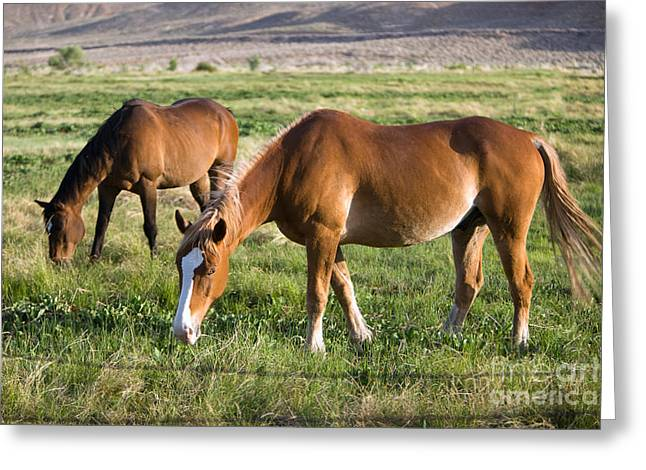 Packhorse Greeting Cards - Grazing Horses Greeting Card by Inga Spence