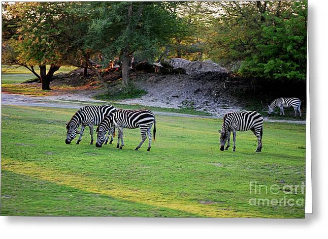 Zebra Grazing Greeting Cards - Grazing Greeting Card by Robert Meanor