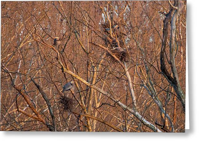 Great Blue Heron Nests Greeting Card by Flying Turkey
