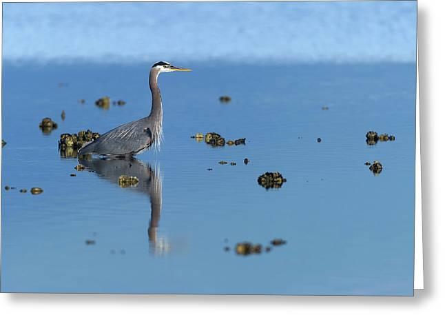 Great Blue Heron Wading Reflection Greeting Card by Gary Langley