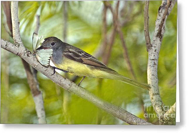 Great Crested Flycatcher Greeting Card by Anthony Mercieca